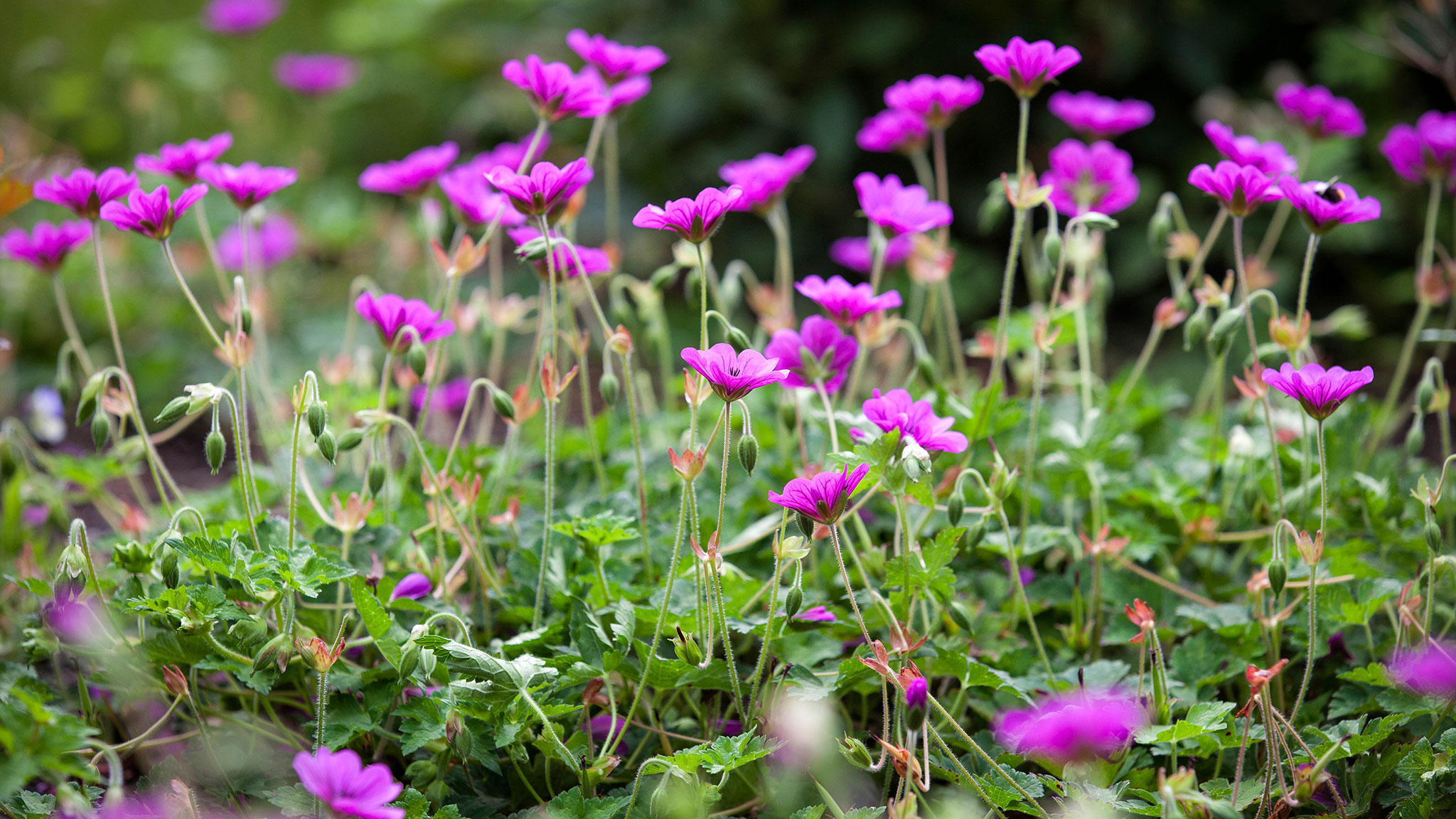 The Right Choice Of Geraniums For Your Garden This Spring