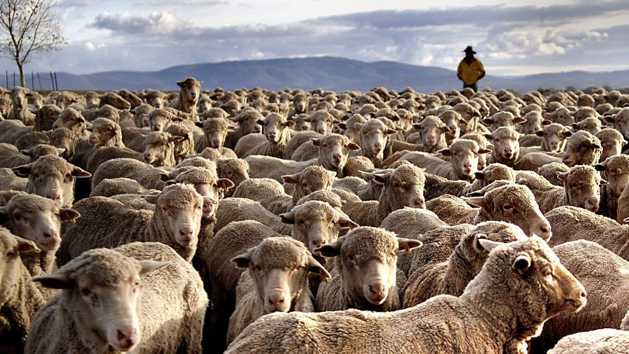 Australian sheep farmers feel the benefit as Chinese flock ...