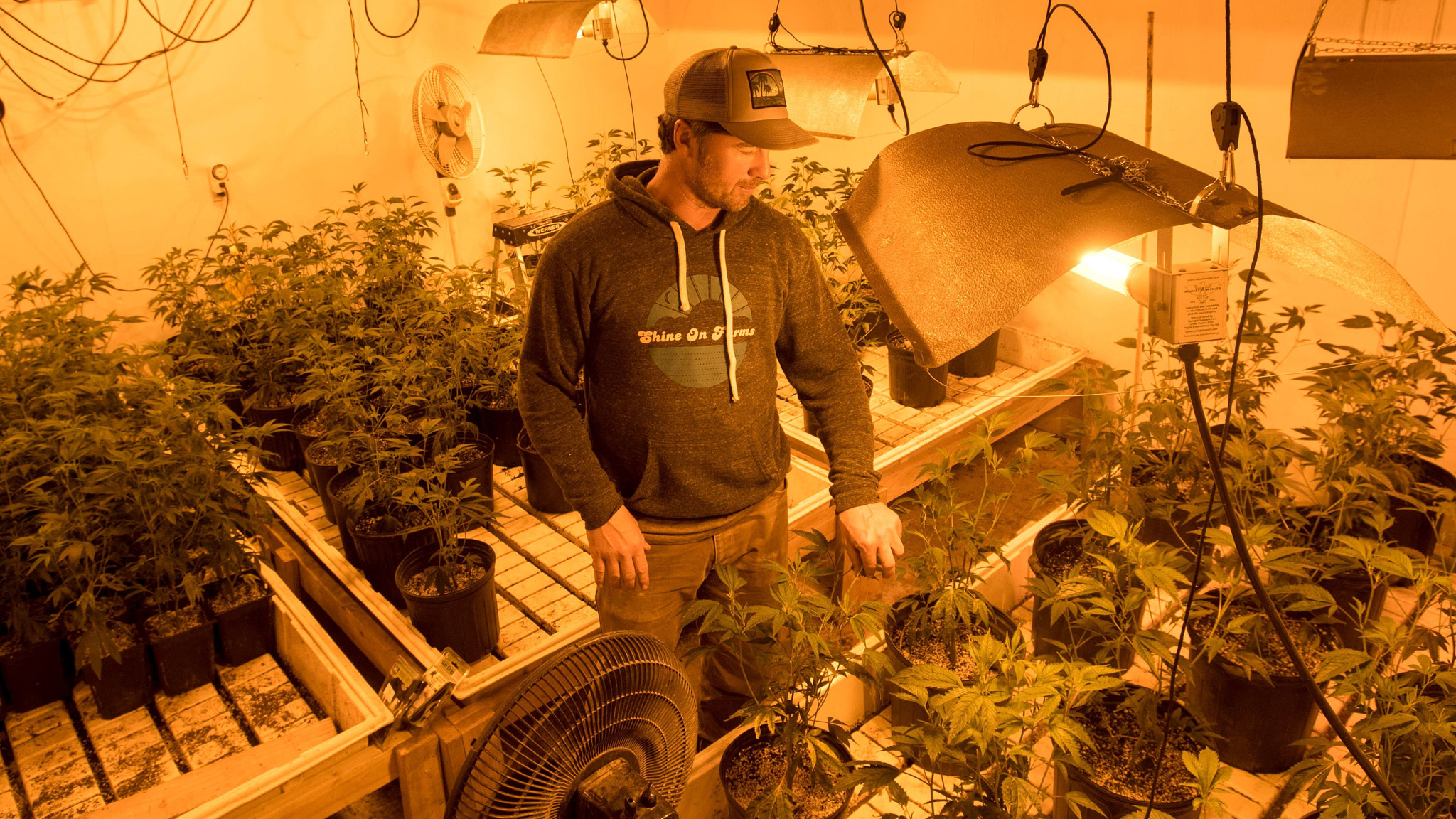 Californian growers and retailers brace for cannabis competition