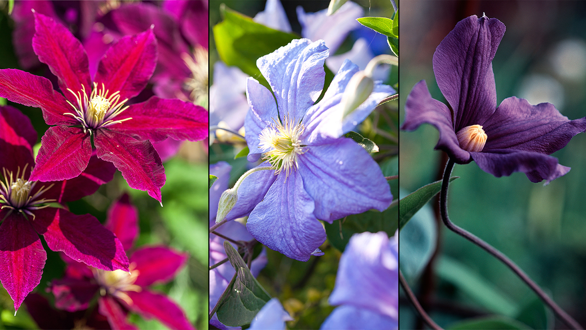 My Top Six Clematis And What To Select For Particular Locations
