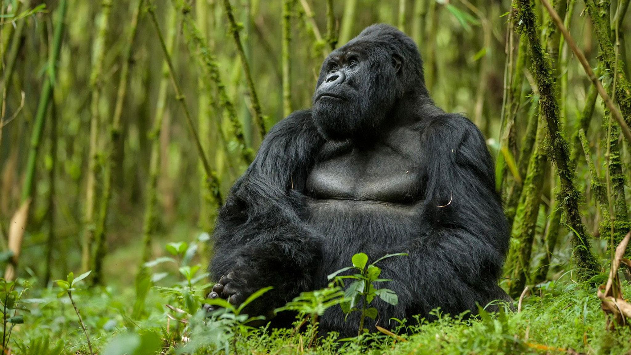 Gorilla In Jungle