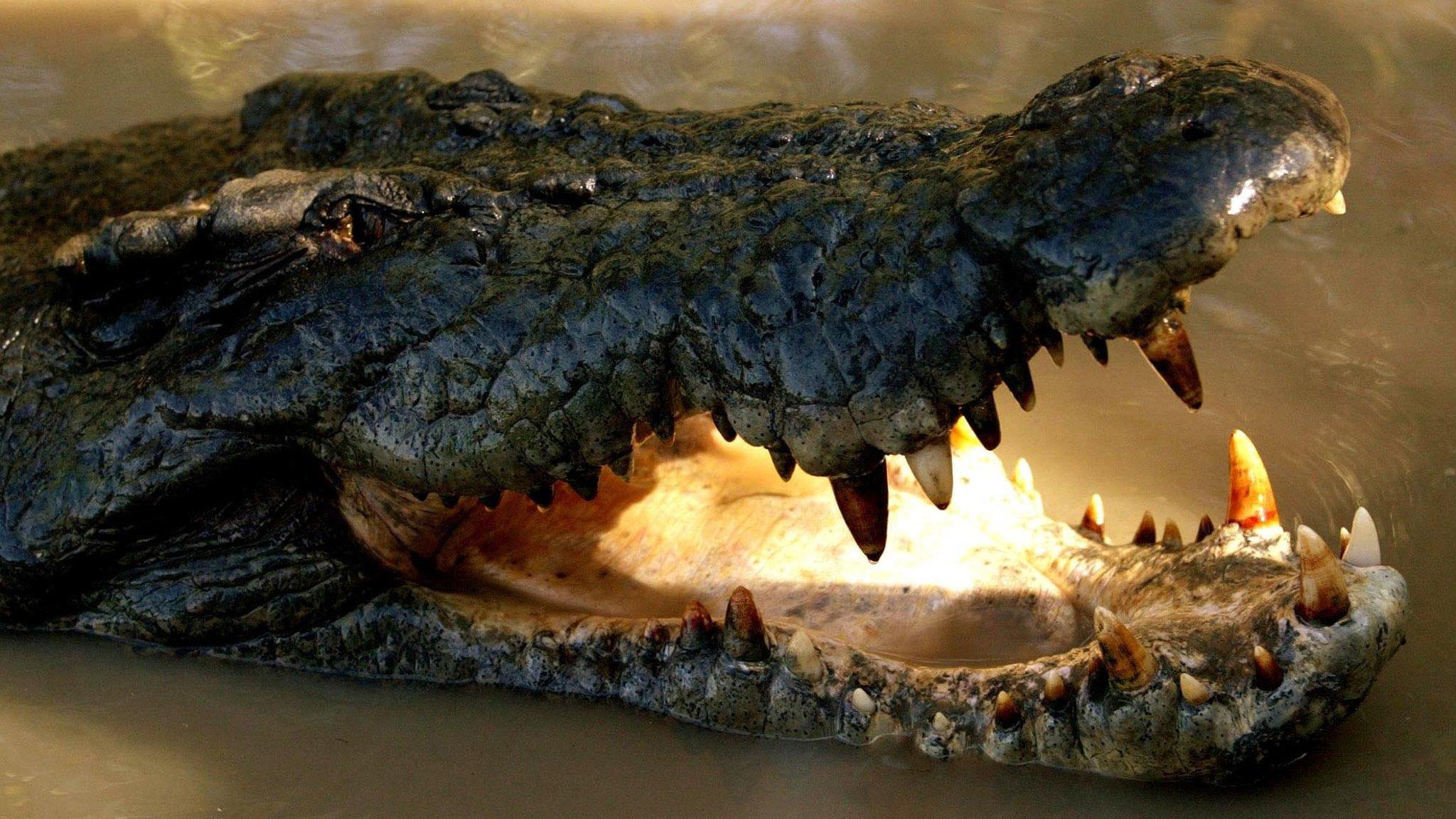 Image result for Skin trade spurs Australian crocodile revival