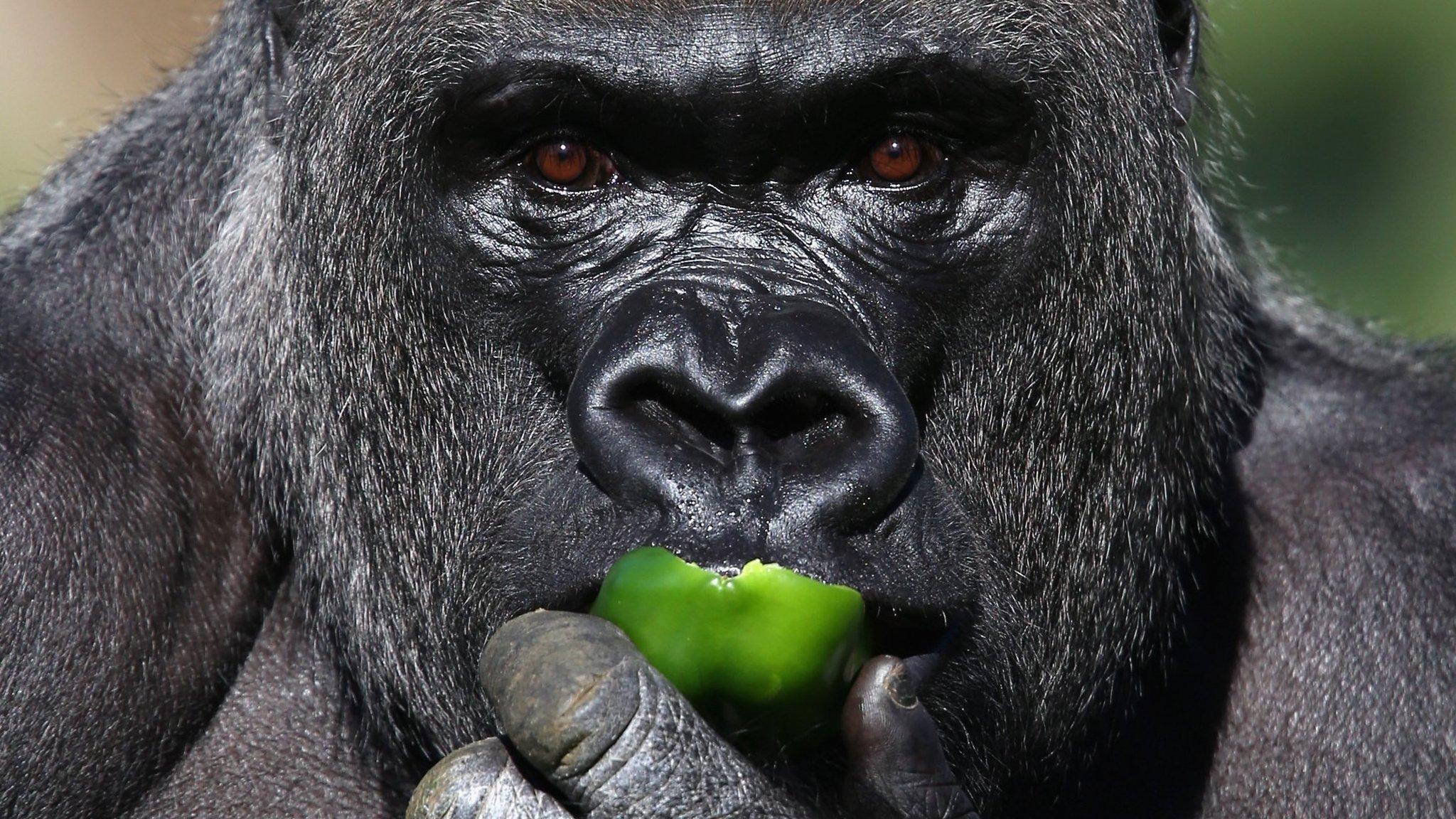 Melihat Gorila Di Alam Liar, Inilah 10 Tempat Terbaik