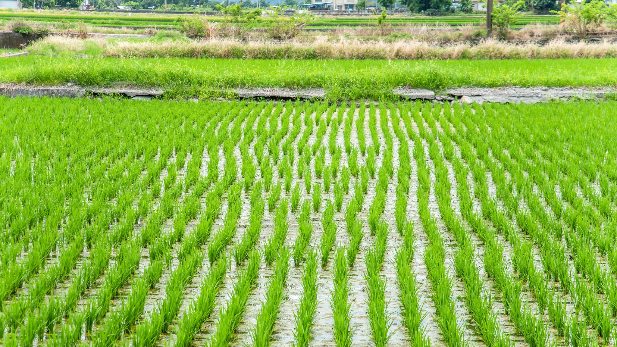 Taiwan S Rice Farmers Use Big Data To Cope With Climate