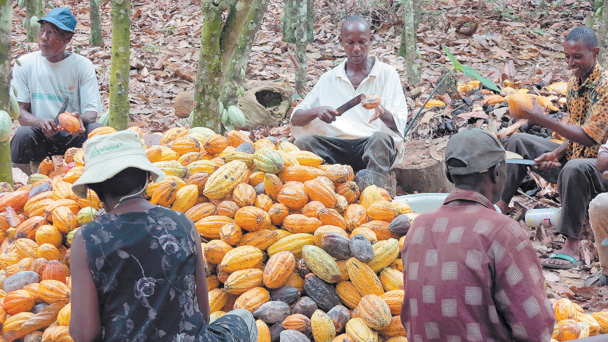 African farming: Initiatives about to increase cocoa yields