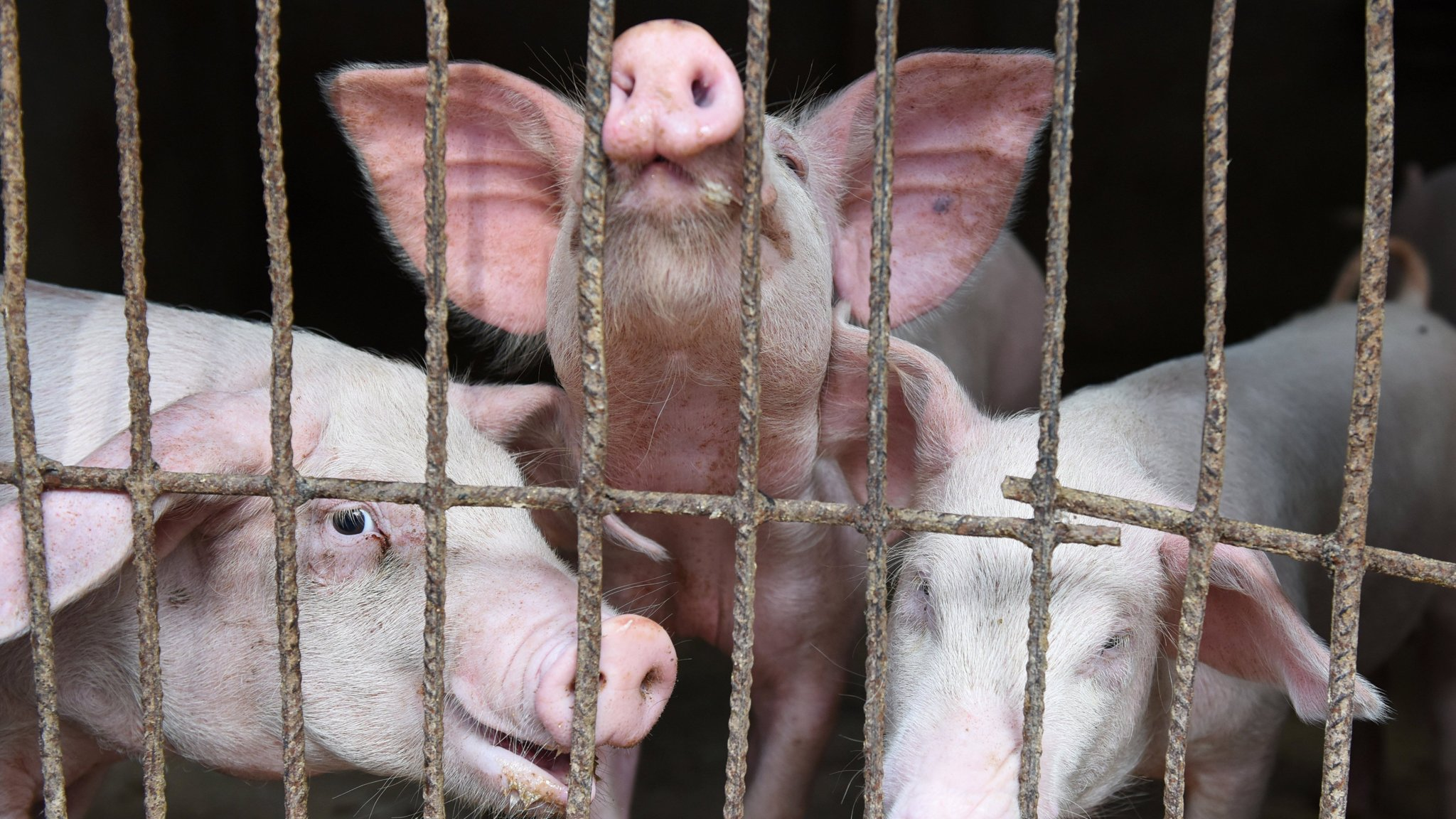 Europe and Brazil help fill China's 10m-tonne pork shortfall