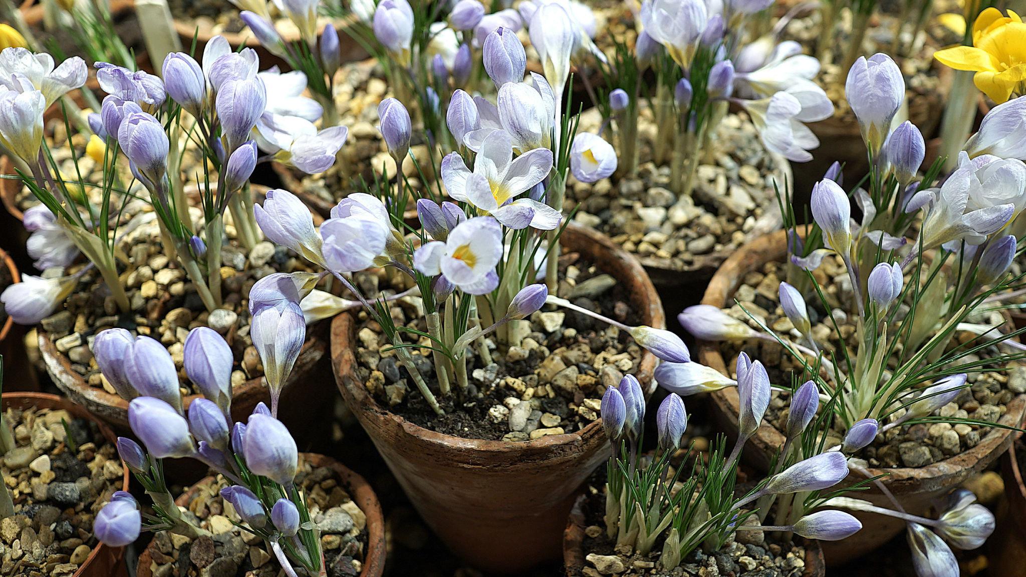 Tulip Double You Early Spring Flowering Garden Bulbs Indoor Outdoor Plants