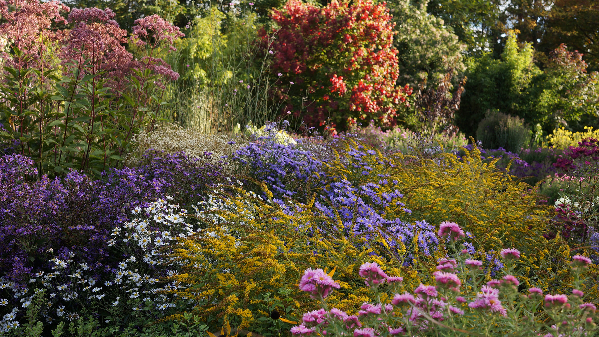 Looking for a colourful flowering plant? It aster be the best ...