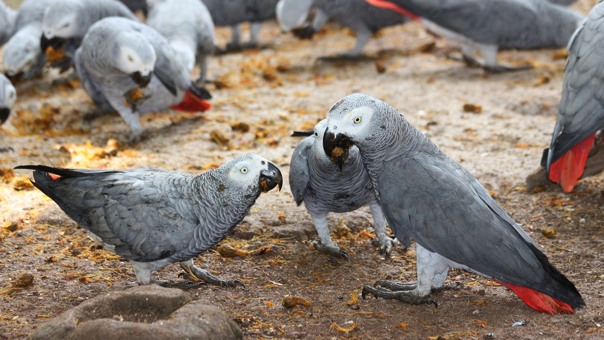 Saving the African grey parrot: the battle to beat the pet smugglers